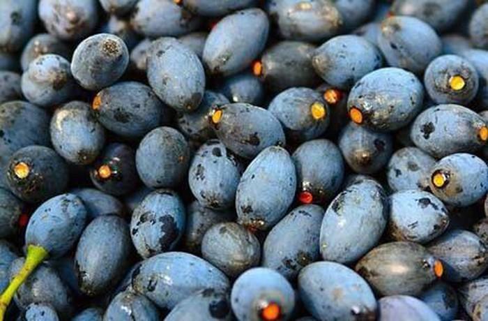 Món ăn dân dã từ trám đen – đặc sản Cao Bằng không thể bỏ qua1 bm